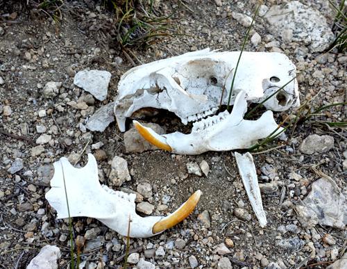 Marmot Skull