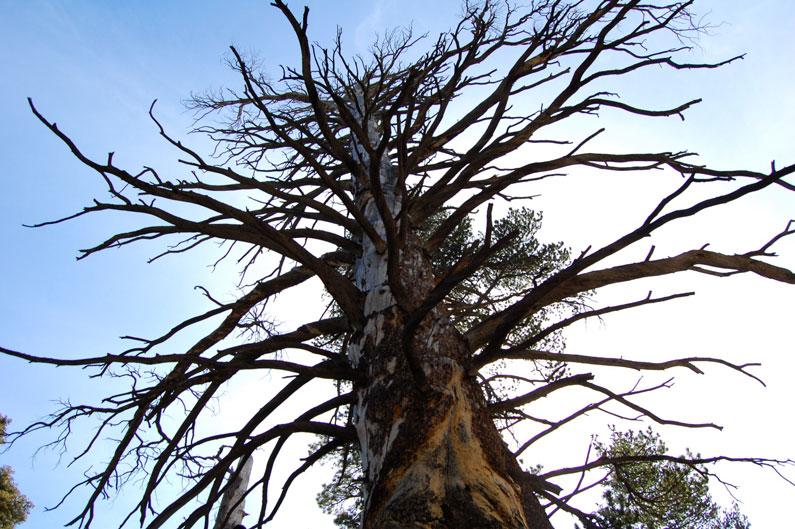 san-jacinto-old-tree